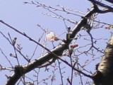 070326_かむろ坂の桜一輪
