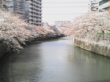 070329 目黒川の桜