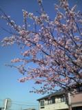080322 早咲きの桜