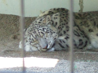 080727 Snow Leopardは寝ている