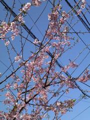 090214 桜咲く