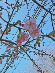 100130 梅は咲いたか桜ももうかいな
