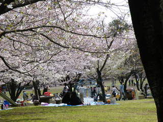 20110410 [Home][misc]お花見:平塚総合公園