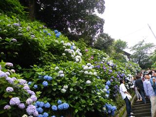 20110619 [江ノ電] 成就院の紫陽花